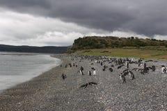 Penguins σε Ushuaia Στοκ Εικόνες