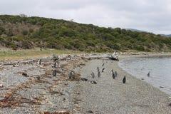 Penguins σε Ushuaia Στοκ εικόνες με δικαίωμα ελεύθερης χρήσης