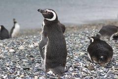 Penguins σε Ushuaia Στοκ φωτογραφία με δικαίωμα ελεύθερης χρήσης