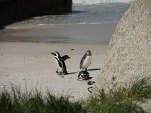 Penguins στην παραλία λίθων, Καίηπ Τάουν Στοκ Εικόνες