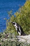 Penguins στην παραλία λίθων στοκ εικόνα