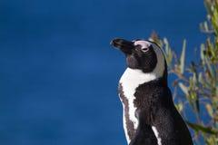 Penguins στην παραλία λίθων στοκ φωτογραφία