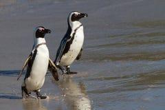 Penguins στην παραλία λίθων στοκ φωτογραφίες