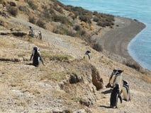 Penguins στη χερσόνησο Valdes στοκ εικόνες