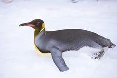 Penguins στο ζωολογικό κήπο Asahiyama Στοκ Εικόνες