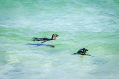 Penguins στο νερό Στοκ εικόνα με δικαίωμα ελεύθερης χρήσης
