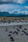 Penguins στο νησί Martillo Στοκ Εικόνες