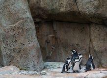 Penguins στο πέτρινο περιβάλλον Στοκ εικόνες με δικαίωμα ελεύθερης χρήσης