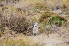 Penguins στο πρόβλημα Στοκ Εικόνα