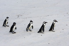 Penguins. Group of Black-footed Penguins walking on the beach in South africa stock photo