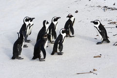 Penguins. Group of Black-footed Penguins meeting on the beach in South africa royalty free stock images