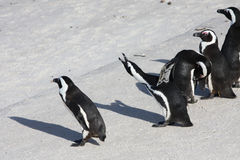 Penguins. Group of Black-footed Penguins standing on the beach in South africa royalty free stock photos