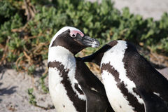 Penguins. Couple of penguin lovers in South africa royalty free stock photos