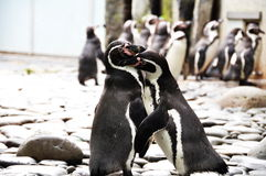 Penguins. Two penguins kissing in Prague zoo Royalty Free Stock Photos