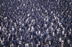 penguins Στοκ Εικόνες