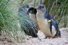 penguins immagini stock libere da diritti