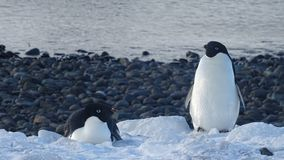 penguins stock afbeelding