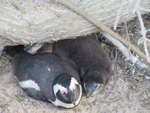 penguins stockbilder