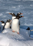 Penguins. Lots of penguins standing on rocks Royalty Free Stock Images