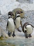 Penguins. Three penguins on the rock near to water Stock Images