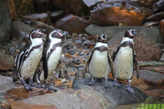 Penguins. On Rocks In Zoo Stock Image