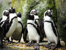 Penguins. Group of penguins in singapore zoo stock photos