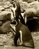 penguins Στοκ εικόνες με δικαίωμα ελεύθερης χρήσης