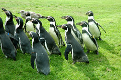 Penguins. Having Fun Royalty Free Stock Image