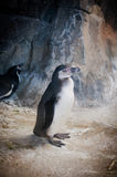 Penguins. Couple of penguins on a rocky beach Royalty Free Stock Images