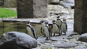penguins Fotografia Stock Libera da Diritti