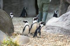 penguins Στοκ Φωτογραφία