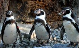 Penguins. Close-up shot of a young Penguin Stock Photos
