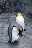 penguins stock afbeeldingen