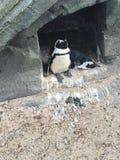 penguins Immagine Stock