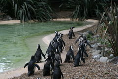 Penguins. A group of penguins following each other Stock Photos
