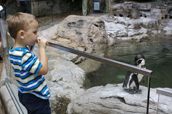 Penguins. A young boy looking at penguins at the zoo Royalty Free Stock Photography