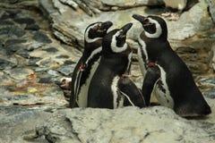 penguins Stockfotografie