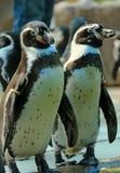 penguins Lizenzfreies Stockbild