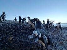 penguins Immagini Stock