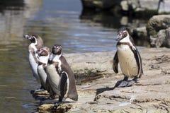 penguins royalty-vrije stock fotografie