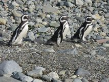 penguins Στοκ Εικόνα