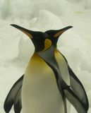 Penguins. Two king penguins, standing proudly together in the ice at the Melbourne Aquarium, Australia Stock Image