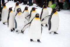 penguins stock foto