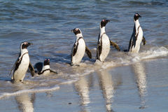 penguins στοκ εικόνα με δικαίωμα ελεύθερης χρήσης