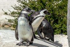penguins στοκ φωτογραφίες με δικαίωμα ελεύθερης χρήσης