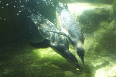 Penguins. Two penguins swimming under water Royalty Free Stock Images