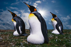 Penguins. Emperor's three penguins on a grass Stock Images