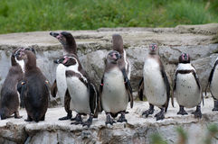 Penguins. Basking in the sun Stock Image