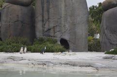 penguins royalty-vrije stock foto