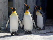 penguins Immagine Stock Libera da Diritti